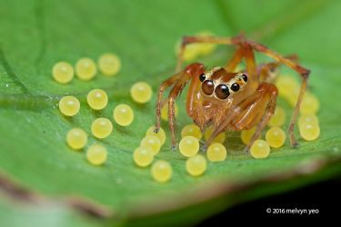 Jumping spider (Parabathippus sp.) with eggs by melvynyeo