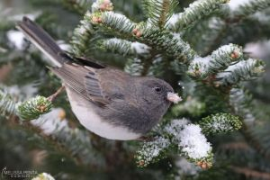 Winter Junco by mydigitalmind