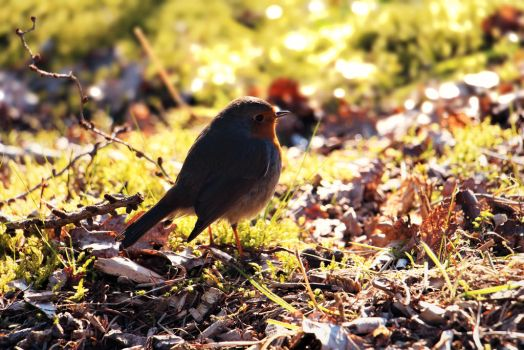 Erithacus rubecula 2 by Lyraven