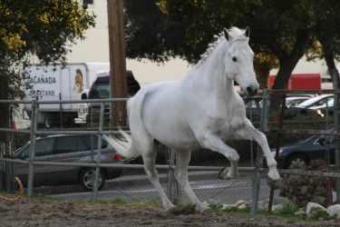 white horse stock 7 by Aestivall-Stock