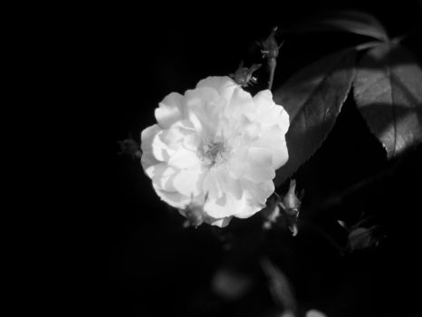 Rose Bw by horus-eire