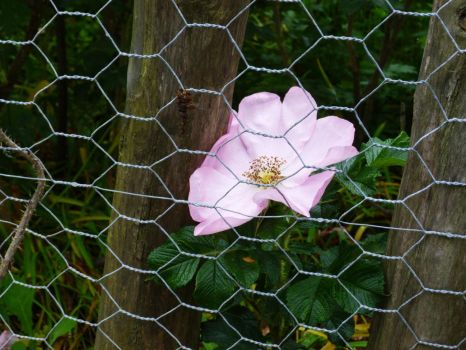 Pink flower trapped by the wire fence by Rubombee