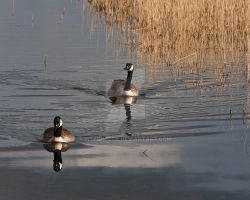 Canada Geese by welshbeck