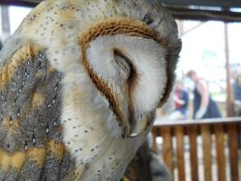 Barn Owl 2 by LaughterGirl