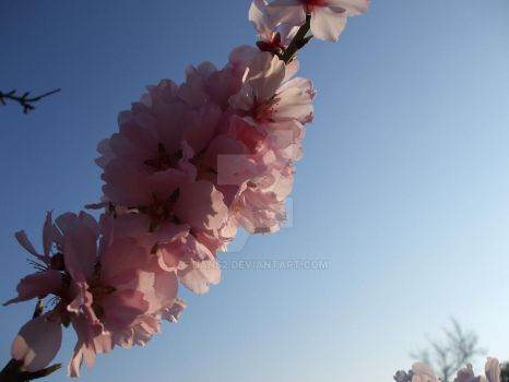 almond blossom by dans2