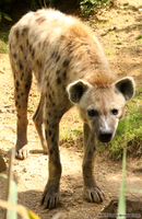 Spotted Hyena 08 by RHCP-Cream