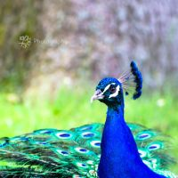 Colorful Pheasant by XanaduPhotography