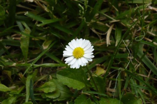 lonely Marguerite by nicolapin