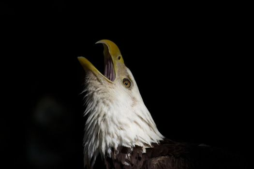 Bald Eagle Portrait by King-Dolphin