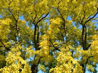 Robinia Pseudacacia In Early Autumn Stereo Pair by aegiandyad