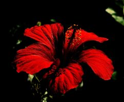 hibiscus by awjay