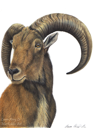 Aoudad by Gray-Ghost-Creations