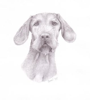 Hungarian Wirehaired Vizsla by Cutewolf