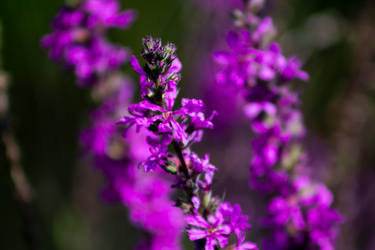 Purple Loosestrife by AaronMk