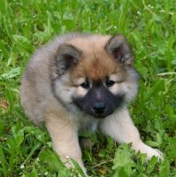 eurasier puppy by Mittelfranke