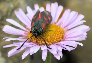 The Six-spot Burnet, Zygaena filipendulae by Vitaloverdose