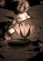 Water Lily 2 by JoeGP