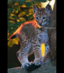 Lynx I by moem-photography