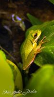 Hyla Cinerea by Peak032