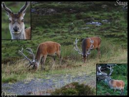 Stags Again by owens