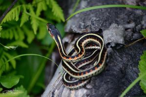 Garter Snake On Log by themanitou