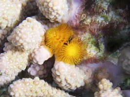 Christmas Tree Worm by chrystalization