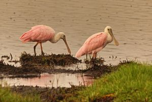 Roseate Spoonbill Pair by papatheo