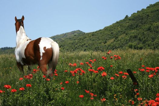 Paint Horse in Flower Field by black-bear-graphics
