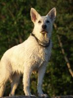 White shepherd 2 by wakedeadman