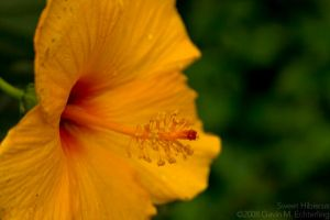 Sweet Hibiscus by g2k556