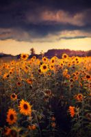 Sunflowers by BaxiaArt