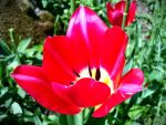 Spring Flower 2012 - 38 by Ingnition