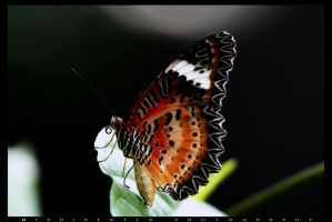 butterfly by misdirekted