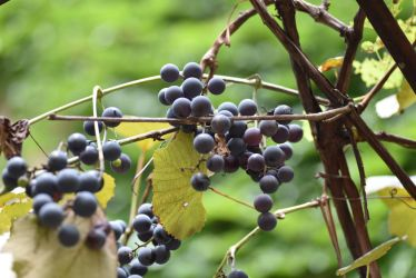 Grapes by savoyj