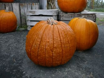 Pumpkin Reference Stock by Enchantedgal-Stock