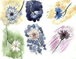 Cornflower sketches by tulvit