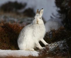 Mountain Hare by NurturingNaturesGift