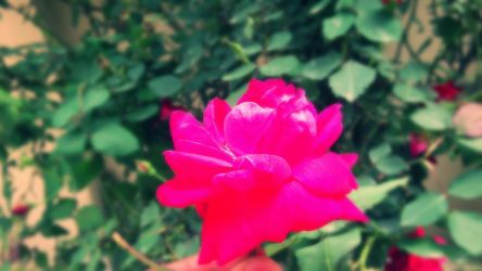 rose at my garden by sekhon9
