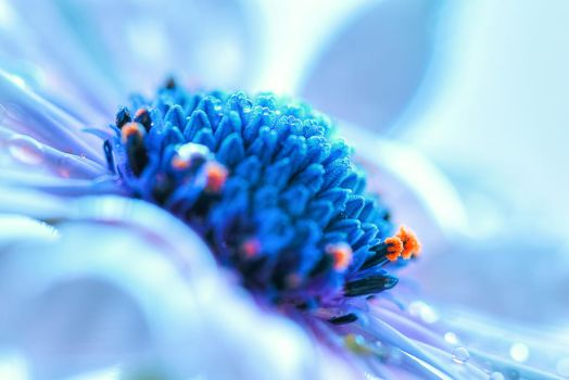 Osteospermum by Mars-Hill