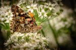 Painted Lady Butterfly by OptFlections