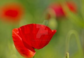 Red on green.. by clochartist-photo