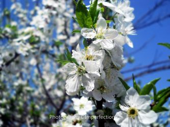 Springtime blossoms by Imperfection22