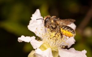 Leaf-Cutter Bee by snomanda