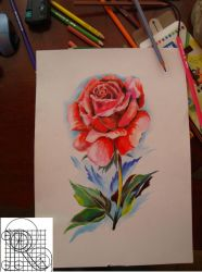 Rose,color pencil drawing by robiartimre