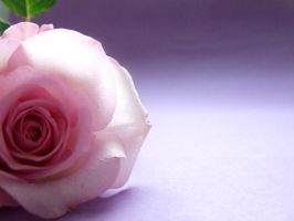 February rose by Tricia-Danby