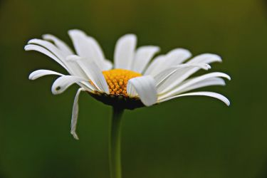 Oxeye daisy by Gerfer