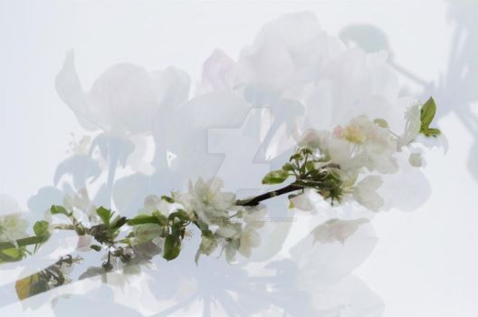 Apple Blossoms by lonesomeaesthetic