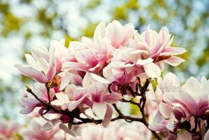 Magnolia Cluster of Beauty by JessicaDobbs