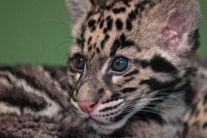 Clouded Leopard cub 8129 by robbobert