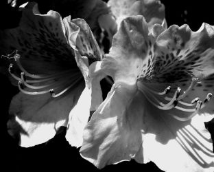 Flowers, Black and White by tracy-Me